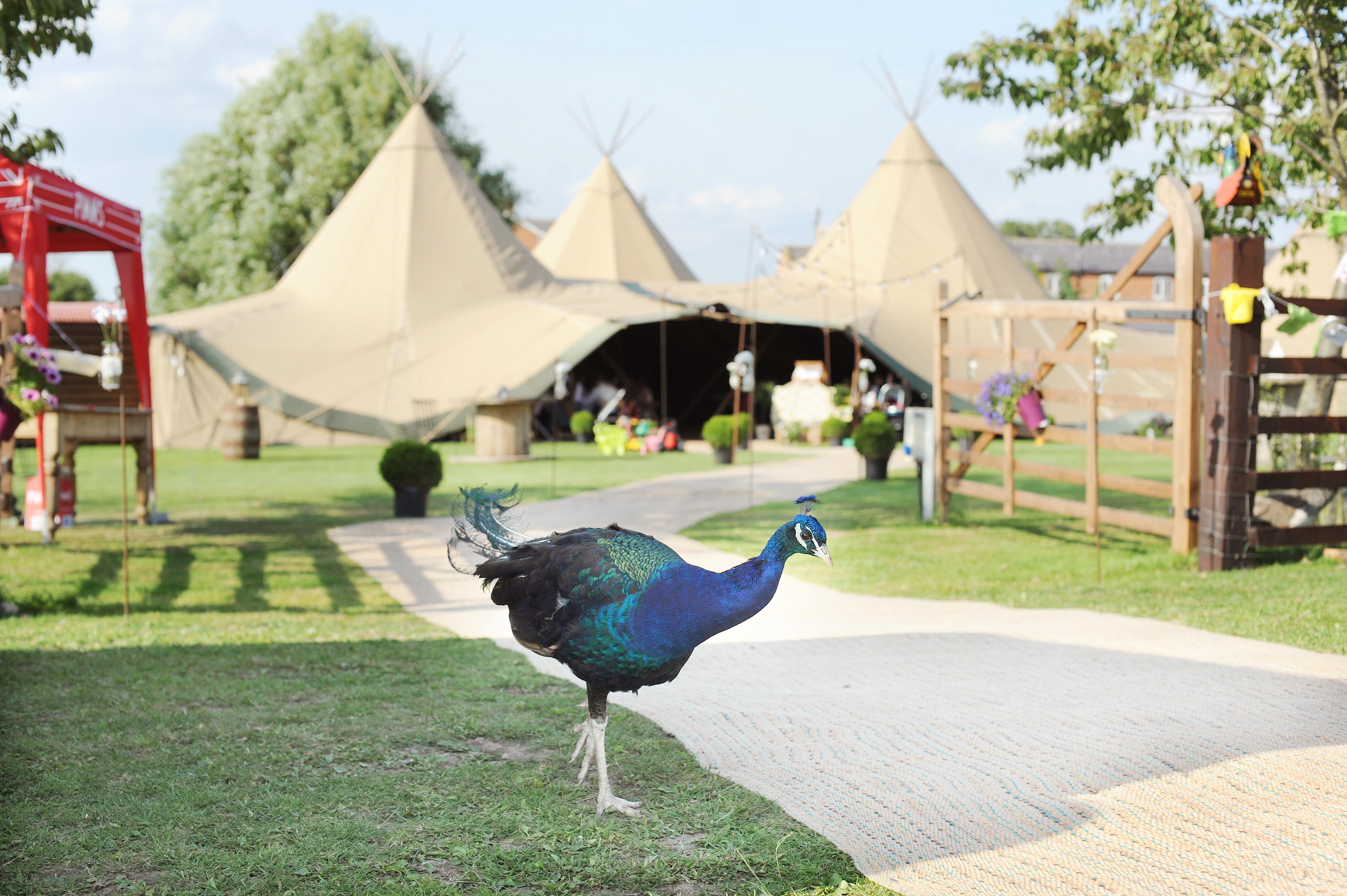 PapaKata Teepees with Skipbridge Country Weddings venue resident peacock